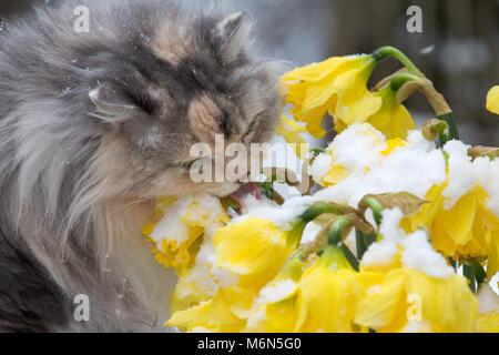 Capelli lunghi gatto con narcisi nella neve Foto Stock