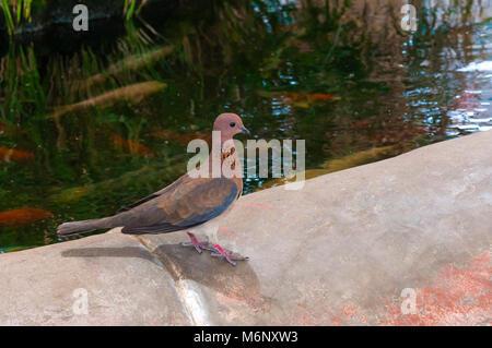 Pigeon, qualsiasi di parecchie centinaia di specie di uccelli che costituiscono la famiglia columbidi. Moduli più Foto Stock