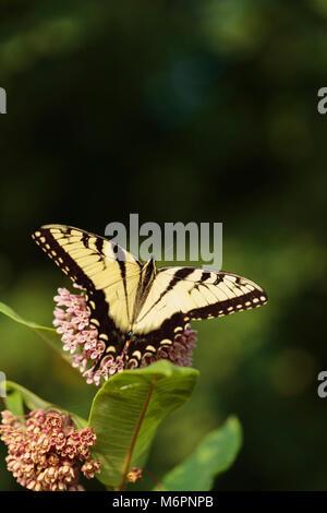Coda forcuta & Milkweed. Pasqua a coda di rondine di Tiger (OKOA0591) Foto Stock