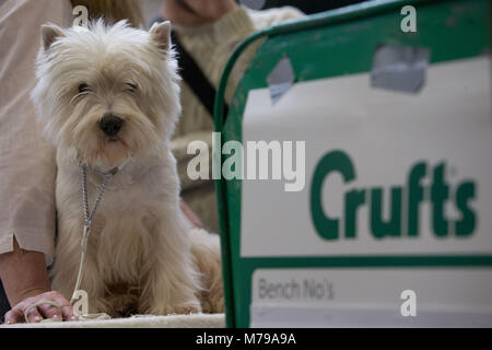 Un West Highland White Terrier, comunemente noto come il Westie, durante il secondo giorno di Crufts 2018 al NEC di Birmingham.