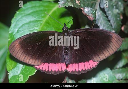 Red-rim butterfly (Biblis hyperia) Nymphalidae, Brasile Foto Stock