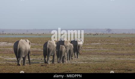 Branco di elefanti in Amboseli National Park Amboseli, Rift Valley Kenya Foto Stock