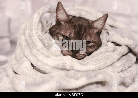 In fase di riscaldamento a freddo in giorni. Grigio strippato cute cat avvolti in un morbido la calda coperta. Foto Stock