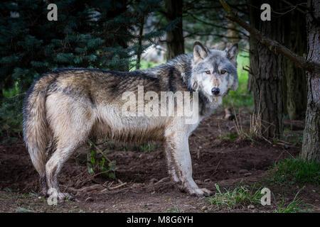 Lupo raffigurato in U Conservation Society, i lupi sono tenuti in aree di grandi dimensioni e ben curato, hanno Foto Stock