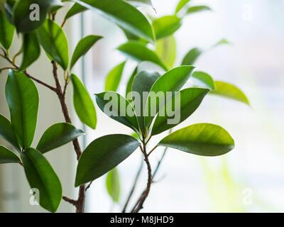 Ficus ginseng bonsai di crescita della pianta in un vaso vicino alla finestra. Primo piano di foglie Foto Stock