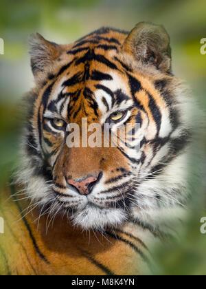 La tigre di Sumatra Panthera tigris sondaica Captive zoo fotografia Foto Stock