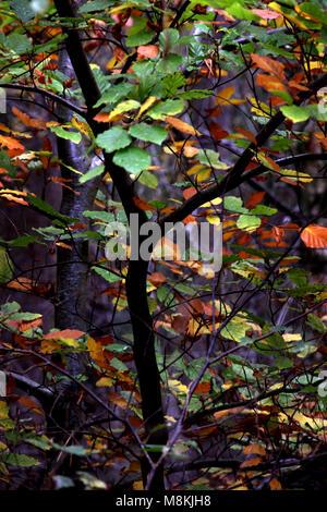 I colori autunnali su un albero del bosco Foto Stock
