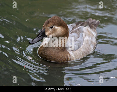 Canvasback anatra (Aythya valisineria) femmina Foto Stock