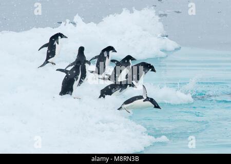 Un gruppo di pinguini Adelie immergersi nell'oceano da un iceberg in Antartide. Foto Stock
