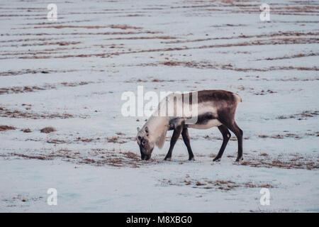 Renne islandese pascolando vicino alla laguna glaciale nel sud est dell'Islanda nel suo naturale ambiente d'inverno. Foto Stock