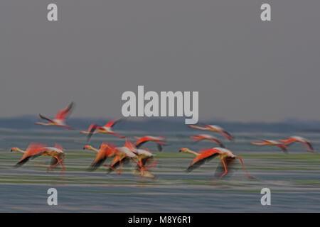 Flamingo in vlucht; fenicottero maggiore in volo Foto Stock