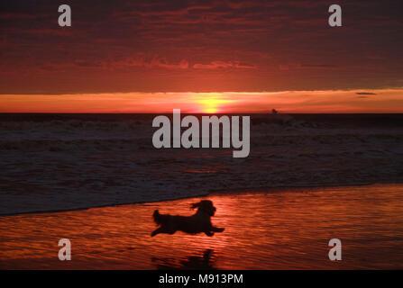 Un cane corre lungo la spiaggia di sunrise in Tynemouth, nel nord-est dell' Inghilterra. Foto Stock