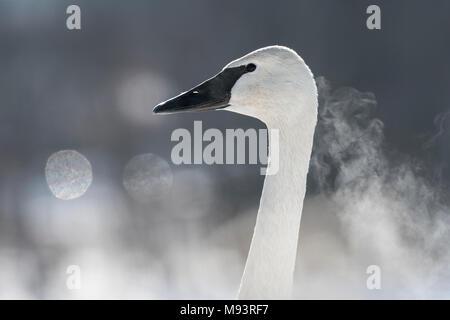 Trumpeter Swan, soffio che mostra, (Cygnus buccinatore), Hudson, WI, alla fine di gennaio, da Dominique Braud/Dembinsky Foto Assoc Foto Stock