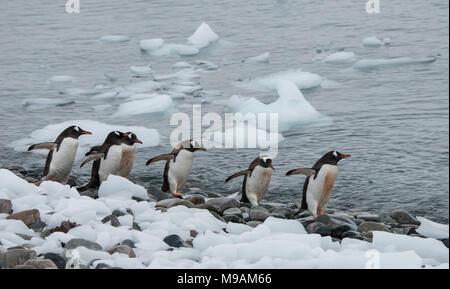Un piccolo gruppo di Pinguini camminare lungo una linea costiera in Antartide Foto Stock