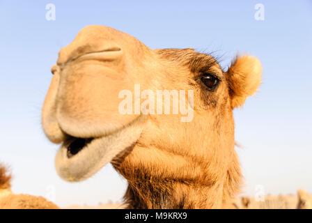 Primo piano di un cammello di naso e bocca, narici chiuse per tenere fuori la sabbia Foto Stock