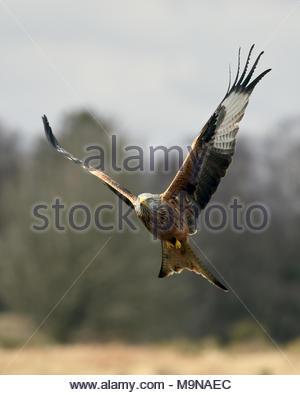 Un aquilone rosso in volo sopra le colline di Dumfriesshire, Scozia. Foto Stock