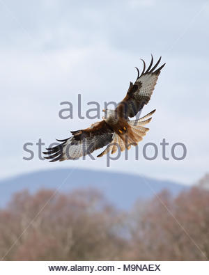 Un aquilone rosso in volo sopra le colline di Dumfriesshire, Scozia.