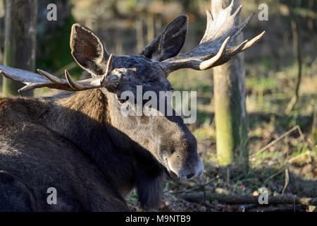 Alci o Unione Elk buck (Alces alces) presso la Scottish Centro Cervo, prua di Fife, Cupar, Scotland, Regno Unito Foto Stock