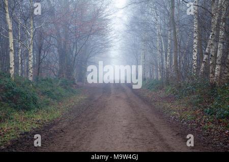 Una lunga pista sterrata fiancheggiata da alberi tra cui silver birch (Betula pendula) entro Harlestone abeti su un molto nebbiosa mattina di gennaio, Northampton, Regno Unito. Foto Stock