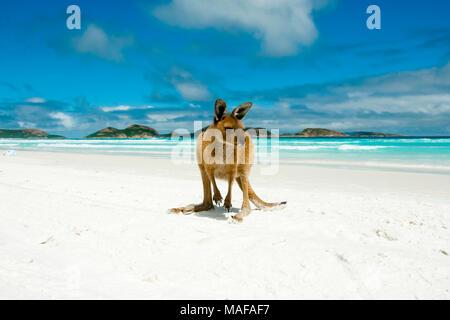 Kangaroo su Lucky Bay - Cape Le Grand National Park - Australia Foto Stock