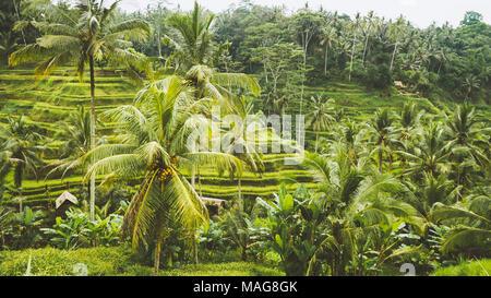 Incredibile riso Tegalalang Terrazza campi e alcune palme tutto intorno, Ubud, Bali, Indonesia Foto Stock