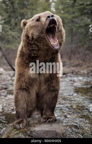 Aggressiva di Kodiak Orso grizzly ruggisce in piedi nel fiume Orso Bruno Maul arrabbiato territoriale degli animali Foto Stock