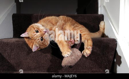 Lo zenzero cat giocando sulle scale