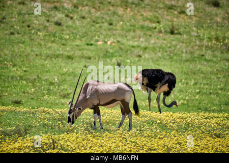 Oryx o Gemsbok (Oryx gazella) e struzzo [Struthio camelus] in Kgalagadi Parco transfrontaliero, Sud Africa e Africa