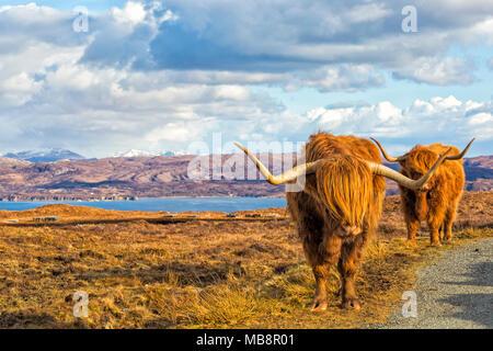 Highland vacche bovini in orizzontale sull isola di Skye vicino Elgol, Scotland, Regno Unito in Marzo Foto Stock
