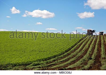 Organico Allevamento di carota in Tasmania Foto Stock