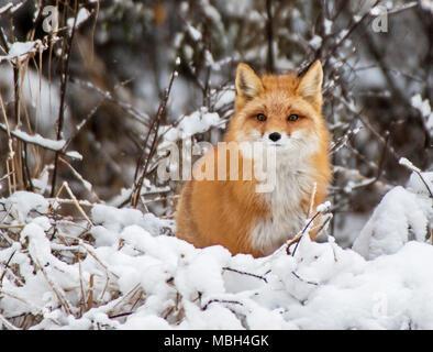 Una volpe rossa delle pause durante la caccia Foto Stock