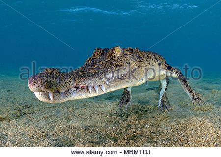Coccodrillo di acqua salata (Crocodylus porosus), il più grande di tutti i viventi rettili, Kimbe Bay, West New Britain, Papua Nuova Guinea Foto Stock