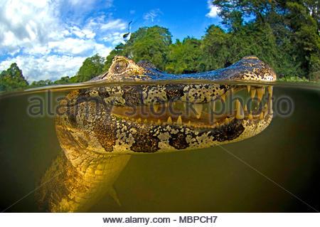 Caimano Yacare (yacare Caimano), Immagine sdoppiata, Mato Grosso do Sul, Pantanal, Brasile Foto Stock