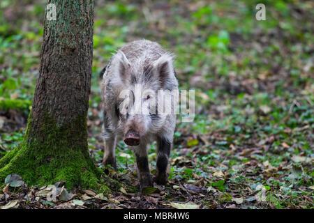 Macchiato il cinghiale (Sus scrofa) borchiati piglet rovistando nella foresta di autunno Foto Stock
