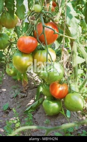 Abbondante fruttificazione di pomodori in una piantagione di un terreno aperto Foto Stock