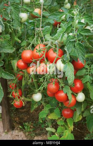Abbondante fruttificazione di pomodori sulla piantagione di un terreno aperto Foto Stock