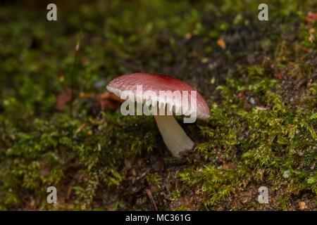 Giungla fungo fungo Foto Stock