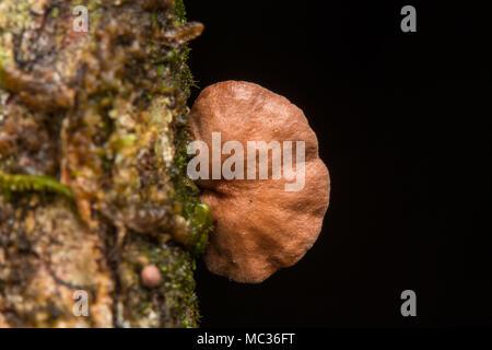 Forest funghi , piccoli funghi , funghi , Close-Up di funghi / un gruppo di funghi toadstools , bosco selvatico funghi Foto Stock
