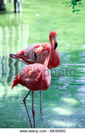 Incredibile flaming rosa in una selvaggia Foto Stock