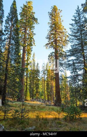 Foresta gigante sotto i raggi del sole al tramonto, Sequoia National Park, Tulare County, California, Stati Uniti. Foto Stock