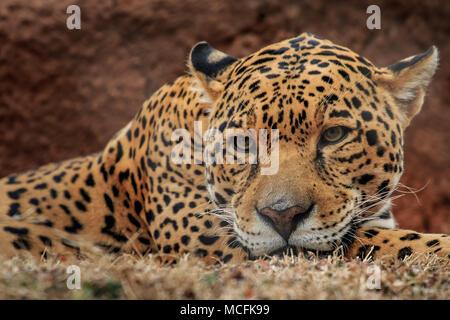 Jaguar (Panthera onca) a riposo guardando annoiato Foto Stock