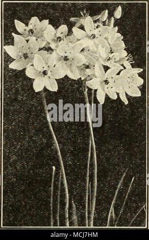 Fiori Bianchi Con Centro Nero.Ornithogalum Arabica Ornithogalum Arabica Arabian Stella Di