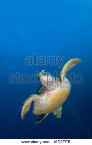 Tartaruga Verde (Chelonia Mydas) in acqua blu, atollo di Ari, isole delle Maldive Foto Stock