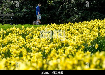 Bolton, Regno Unito. Il 18 aprile 2018. La previsione di belle giornate di sole arrivati finalmente a Bolton il Queen's Park questo pomeriggio. Le calde temperature sono attesi per attaccare in giro per i prossimi due giorni in Inghilterra del Nord Ovest. La gloriosa visualizzazione dei narcisi, siediti e sorridere al sole come un uomo cammina insieme con il suo cane. Foto di Paolo Heyes, mercoledì 18 aprile, 2018. Credito: Paolo Heyes/Alamy Live News Credito: Paolo Heyes/Alamy Live News Foto Stock