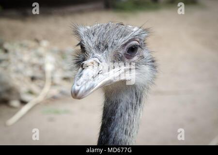 Ostrich cercando nella fotocamera