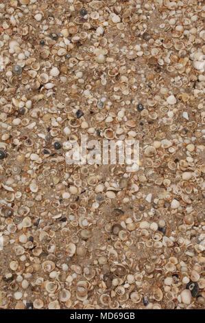 Mulitiple conchiglie sulla spiaggia clustered insieme guardando verso il basso a partire da sopra Foto Stock