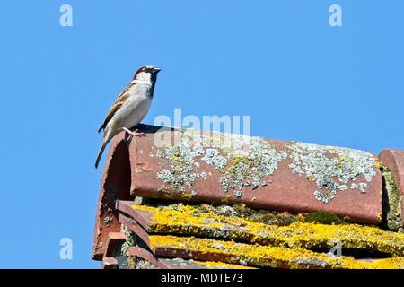 Maschio Casa passera (Passer domesticus) sul tetto di una casa, Sussex est, Regno Unito Foto Stock