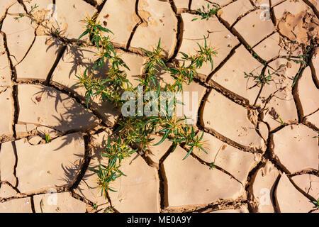 Verde e giallo thistle di crescita della pianta in rosso incrinato fango di argilla Foto Stock