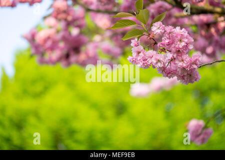 Sakura tree fiori ciliegio Foto Stock
