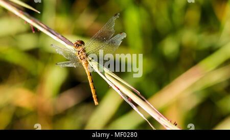Ruby meadowhawk dragonfly poggiante su una prateria di erba al tramonto.